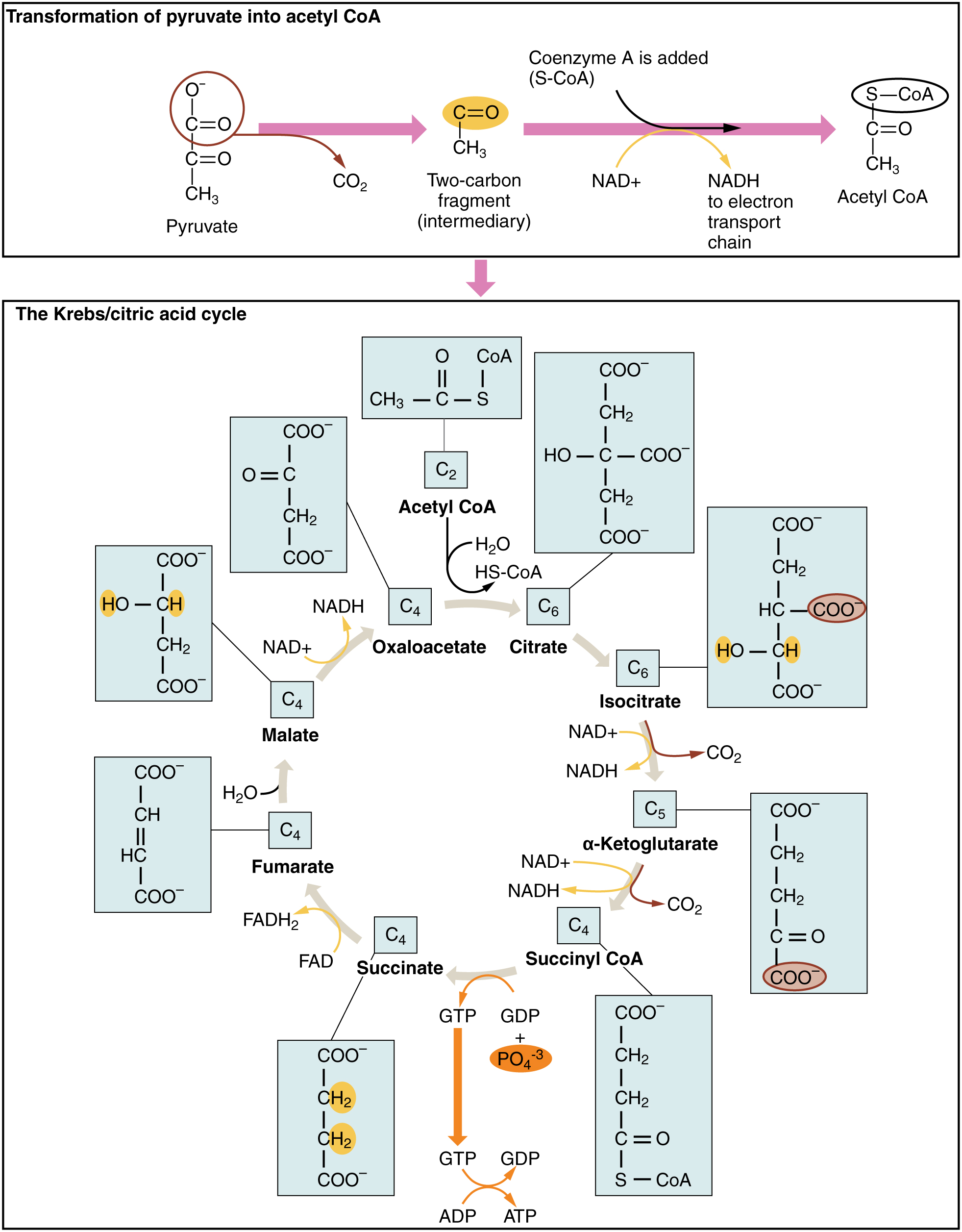 24 2 Carbohydrate Metabolism Anatomy Amp Physiology