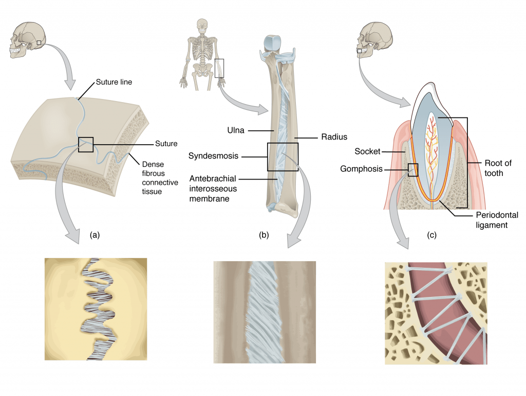 9 2 Fibrous Joints Anatomy Amp Physiology