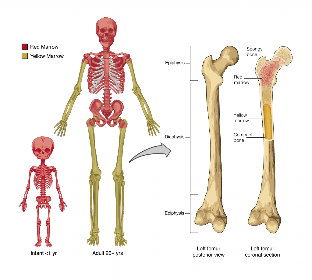 6 1 The Functions Of The Skeletal System Anatomy