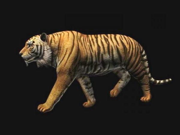 Bengal Tiger Animation