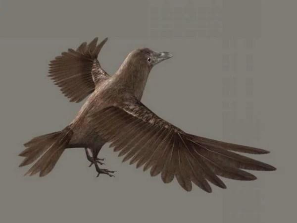 Brown Crow