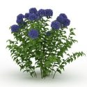 Mavi Ortanca Bitki