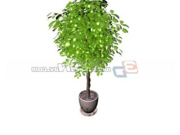 Plant Pachira Aquatica Potted