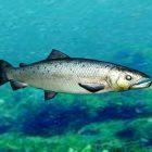 Salmon Fish Rig