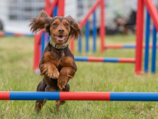 Dog jumping over pole at Dogfest