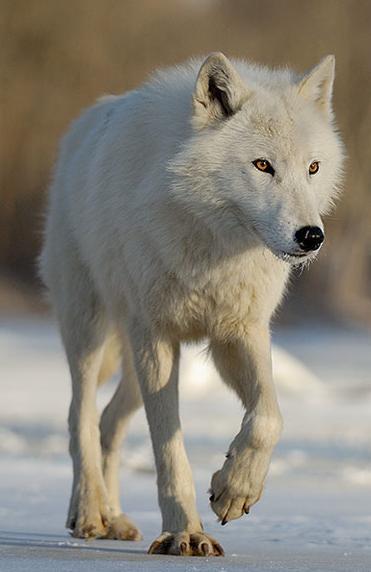 vane-white-timberwolf