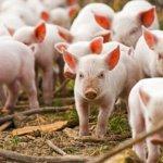Как организовать бизнес на разведении свиней.