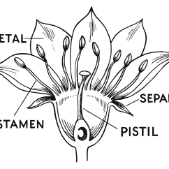Plant Diagram Clip Art Lotus Blank Of The Pistil Elsavadorla