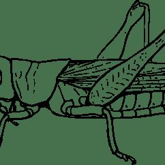 Grasshopper Dissection Diagram Labeled 1996 Nissan Maxima Engine Clipart Grasshoper
