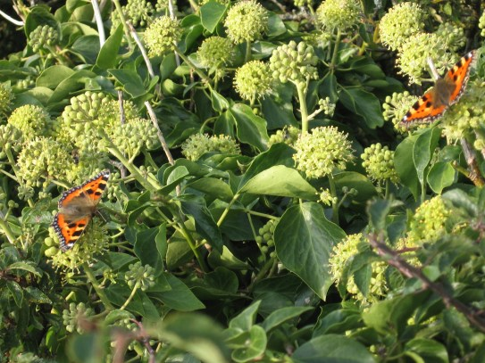 small tortoiseshells on ivy