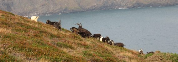 Cambeak goats