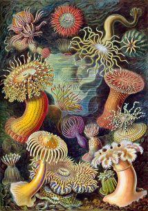 Havsanemoner - Haeckel's Kunstformen der Natur, 1904