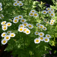 Feverfew at the plant sale