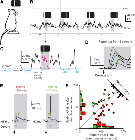 Down-state triggering of visual stimuli and timing of