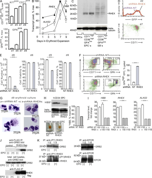 In primary human EPCs, shRNA knockdown reveals positive