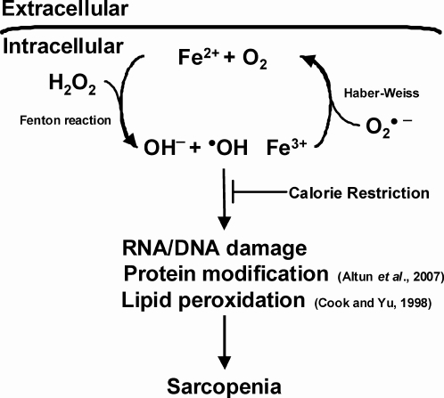 Calorie restriction attenuates iron accumulation and sa
