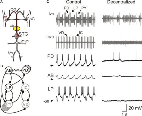Figure 1:Pacemaker Neuron and Network Oscillations Depend
