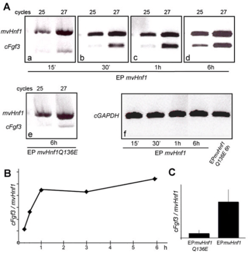 Fgf3 is rapidly induced after mvHnf1 overexpression