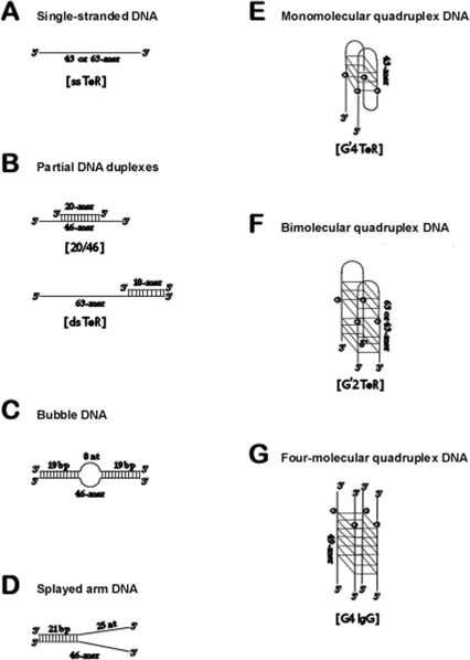 Schemes of DNA structures used in this work.Annealing o
