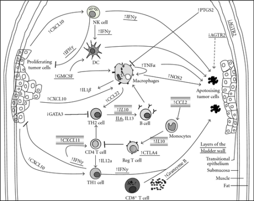 A schematic diagram that summarizes the gene expression