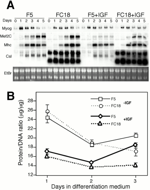 Myogenic gene expression and protein to DNA ratios in c