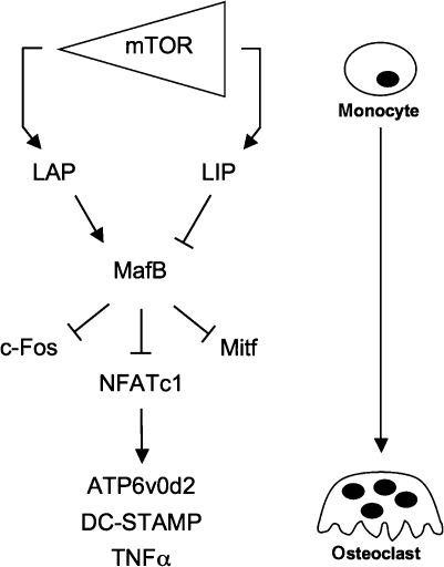 f9:Transcription factor C/EBPβ isoform ratio regulates