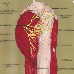 Medial Lower Leg Muscles Diagram Asco Redhat Wiring Aponeurosis; Gluteus Medius Muscle; Superior Cluneal Ne | Open-i