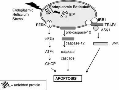 ER stress induced apoptosis. Three main pathways of ER