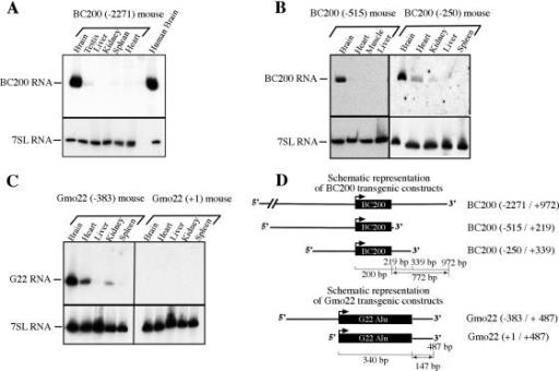 fig1:Two primate-specific small non-protein-coding RNAs in