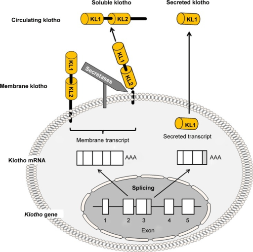 Schematic diagram of membrane klotho and secreted kloth