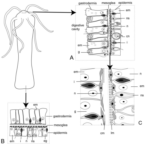 Schematic representation of Hydra sp.Cross sections of