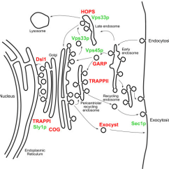 Eukaryotic Endomembrane System Cell Diagram Wirediagram Mercury 225 Optimax Location And Functions Of Multi Subunit Tethering Compl Open I Complexes Sm Proteins In An Idealised