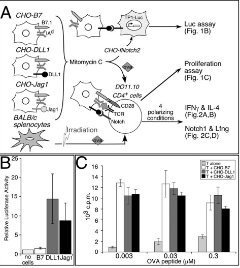 Functional Notch ligands on APCs do not affect APC-medi