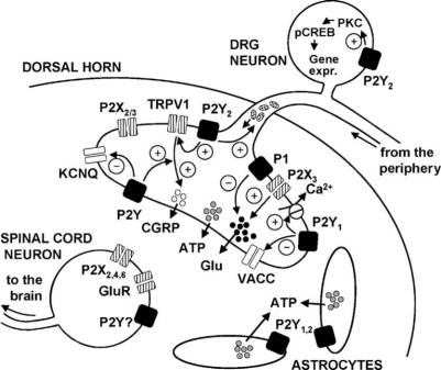 The role of P2Y receptors in pain pathways. The P2Y rec