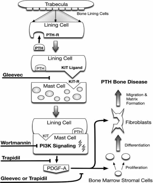 fig07:The Role of Mast Cells in Parathyroid Bone Disease