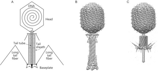 Structure of bacteriophage T4. (A) Schematic representa