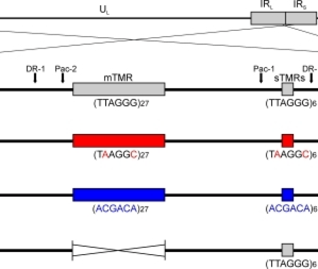 Mdv Tmr Mutants Schematic Representation Of The Mdv Genome With A Focus On Viral A