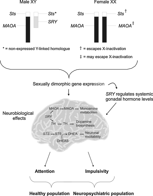The genetic mechanisms that underlie attention and impu