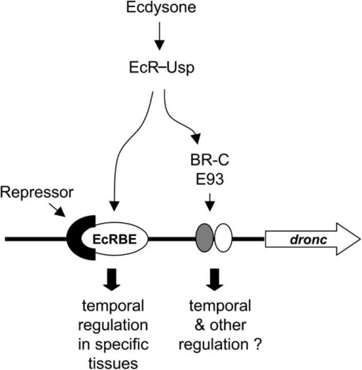 fig9:Ecdysone receptor directly binds the promoter of the