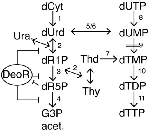 Figure 5:The association of DNA damage response and