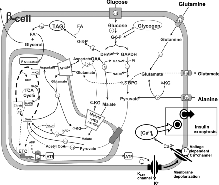 Schematic representation of the pancreatic β-cell meta
