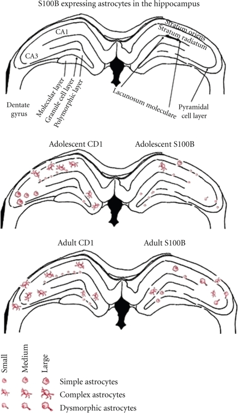fig4:Effects of S100B on Serotonergic Plasticity and