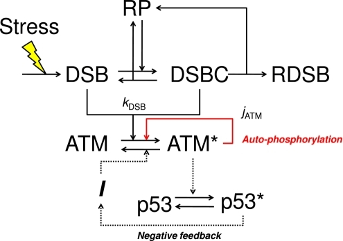 A diagram of the detection mechanism of DSB depending o