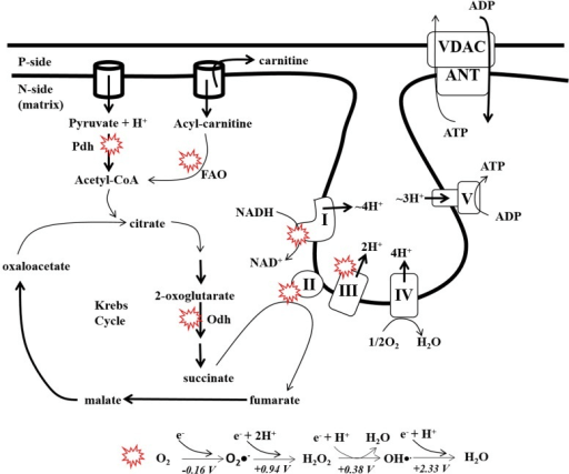 Production of ATP and ROS by the electron transport cha