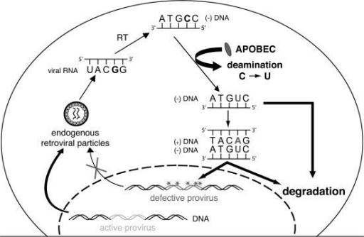 fig5:Dual inhibitory effects of APOBEC family proteins on