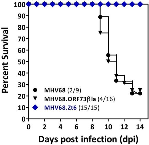 MHV68 miRNAs are essential for lethal pneumonia. Surviv