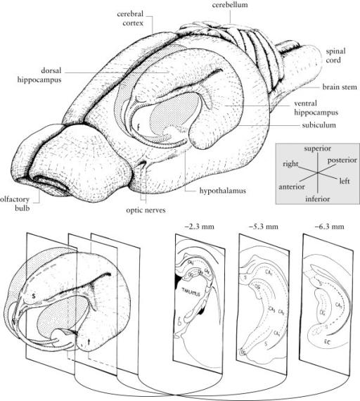 Diagram of the rat hippocampus. Drawings of the rat bra
