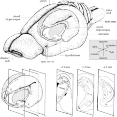 Male Mouse Anatomy Diagram Honeywell Tje Pressure Transducer Wiring Of The Rat Hippocampus. Drawings Bra | Open-i