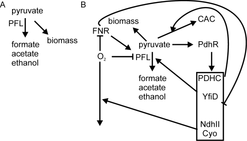 Model illustrating the role of pyruvate as a secondary