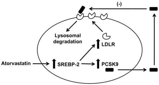 Effect of atorvastatin on hepatocyte LDLR and PCSK9. At